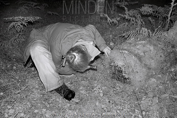 Dr. Jenny Macpherson inspecting a Pine marten (Martes martes) caught in a live trap at night in Scottish woodland for a reintroduction project to Wales run by the Vincent Wildlife Trust, Highland region, Scotland, September 2016. Model released. Shot using infra red light to minimise disturbance.