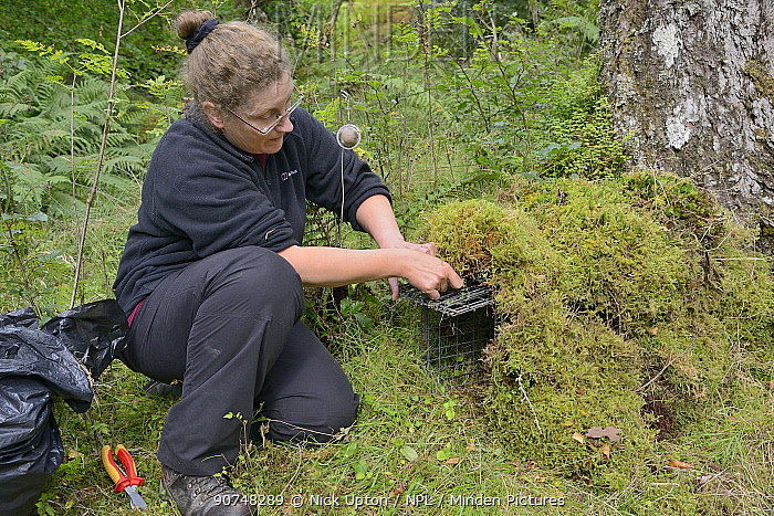 Dr. Jenny Macpherson setting a live trap for Pine martens (Martes martes) in Scottish woodland for a reintroduction project to Wales run by the Vincent Wildlife Trust, Highland region, Scotland, September 2016. Model released.