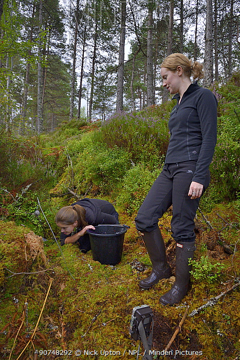 Lizzie Croose looks on as Karis Hodgson checks a live trap pre-baited for Pine martens (Martes martes) in coniferous woodland to check if any bait has been taken, during a reintroduction project to Wales run by the Vincent Wildlife Trust, Scottish Highlands, September 2016. Model released.