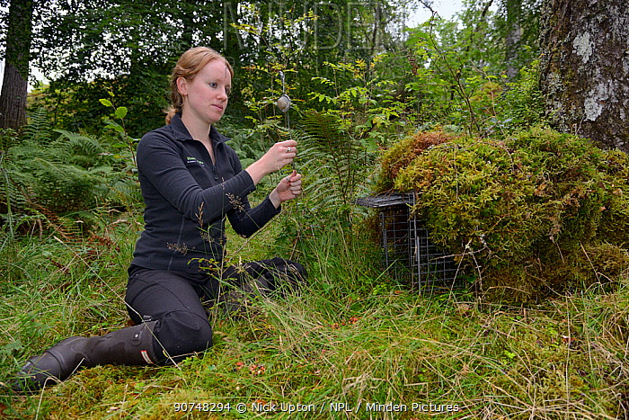 """Lizzie Croose setting up a """"jiggler"""" filled with peanut butter by a trap set for Pine martens (Martes martes), in the hope one will stand up to reveal the individual pattern on its chest in trailcam recordings made during a reintroduction project to Wales run by the Vincent Wildlife Trust, Scottish Highlands, September 2016. Model released."""