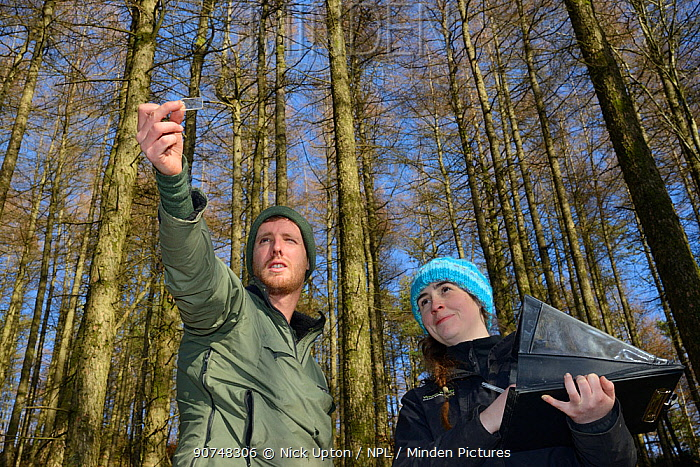 David Bavin using a wedge prism relascope to record the tree density of coniferous plantation habitat where Pine martens (Martes martes) have been reintroduced by the Vincent Wildlife Trust as Josie Bridges records the readings, Cambrian Mountains, Wales, UK, February 2016. Model released.