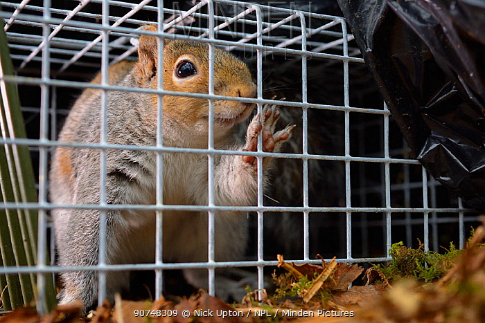 Grey Squirrel (Sciurus carolinensis) caught in a live capture trap set to monitor the squirrel population in the area where their predators, Pine martens (Martes martes) have been reintroduced by the Vincent Wildlife Trust, Cambrian Mountains, Wales, UK, February 2016.