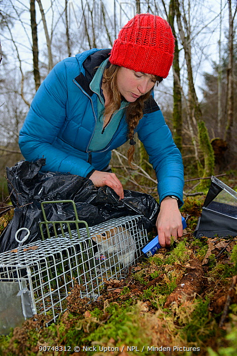 Catherine McNicol reading the PIT tag number of a Grey Squirrel (Sciurus carolinensis) she has re-trapped in a live capture trap while monitoring the squirrel population in the area where their predators, Pine martens (Martes martes) have been reintroduced by the Vincent Wildlife Trust, Cambrian Mountains, Wales, UK, February 2016. Model released.