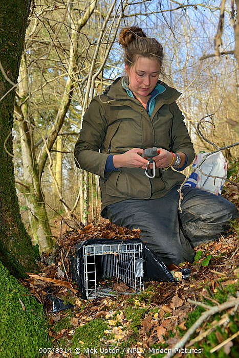 Catherine McNicol logging the GPS position of a live capture trap she has set for Grey Squirrels (Sciurus carolinensis) to monitor their population in the area where their predators, Pine martens (Martes martes) have been reintroduced by the Vincent Wildlife Trust, Cambrian Mountains, Wales, UK, February 2016. Model released.