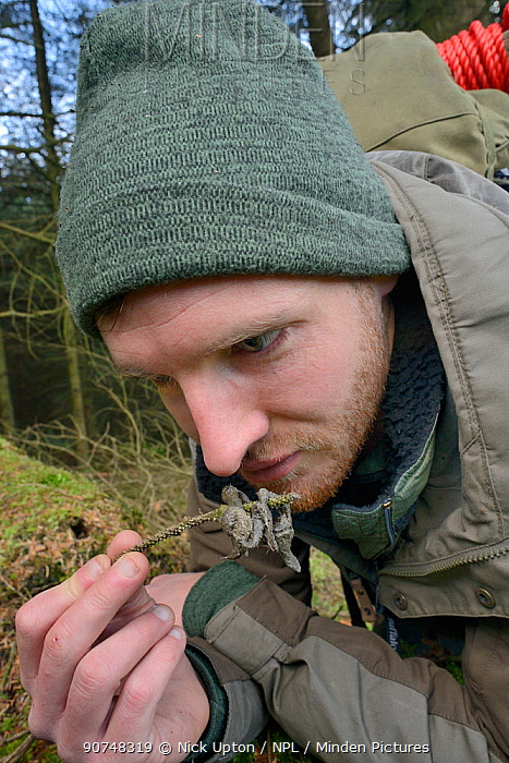 David Bavin inspecting and sniffing scat of a Pine marten (Martes martes) reintroduced to Wales by the Vincent Wildlife Trust, Cambrian Mountains, Wales, UK, February 2016. Model released.