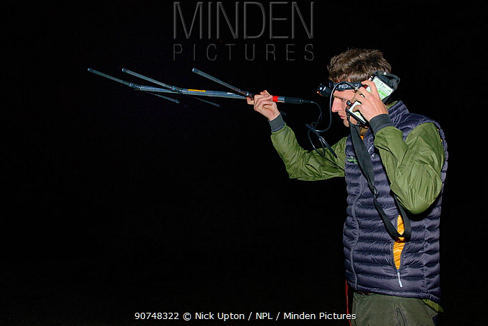 David Bavin using a radiotracker to locate radio-collared Pine martens (Martes martes) at night after release during a reintroduction project by the Vincent Wildlife Trust, Cambrian Mountains, Wales, UK, September 2016. Model released.