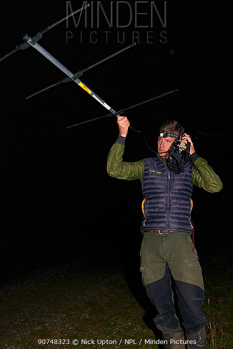 David Bavin using a radiotracker to locate radio-collared Pine martens (Martes martes) after release during a reintroduction project by the Vincent Wildlife Trust, Cambrian Mountains, Wales, UK, September 2016. Model released.