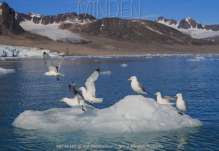 Kittiwakes (Rissa tridactyla) taking off, near Monaco Glacier, Svalbard, Norway, July.