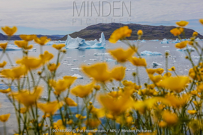 Meadow buttercup (Ranunculus acris) and icebergs, Narsaq, Greenland, July.