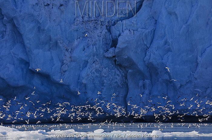 Kittiwakes (Rissa tridactyla) in front of glacier, Monaco Glacier, Svalbard, Norway, July.