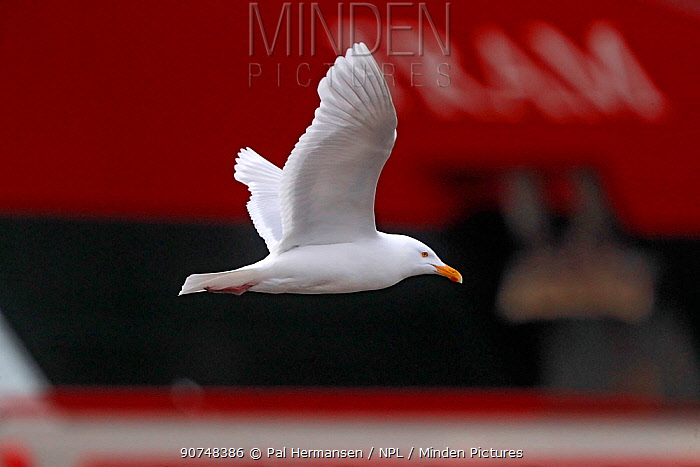 Glaucous gull (Larus hyperboreus) in front of ship, Svalbard, Norway, July.