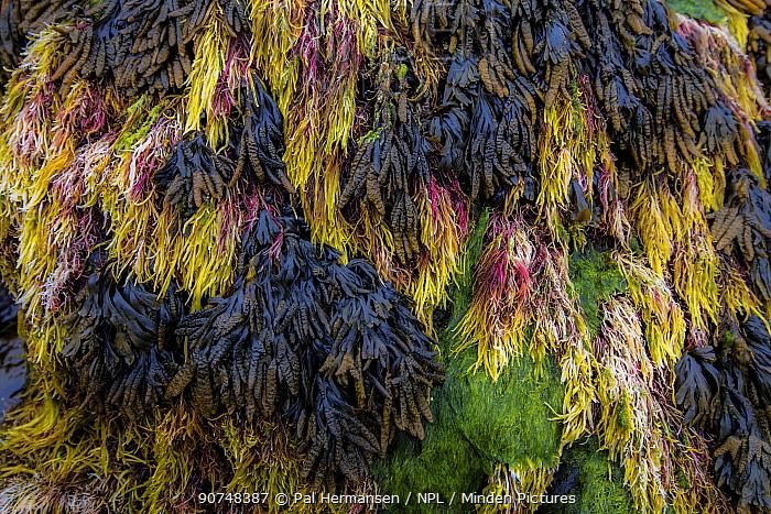 Variety of seaweeds on coast, Jan Mayen, Subarctic island, Norway, July 2016.