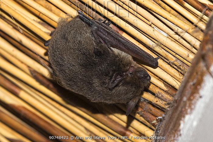 Cape serotine (Neoromicia capensis) bat, Kgalagadi transfrontier park, South Africa, June