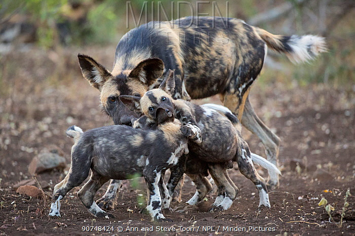 African wild dog pups (Lycaon pictus) playing, Zimanga private game reserve, KwaZulu-Natal, South Africa, June.