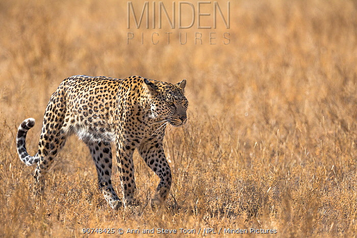 Leopard female (Panthera pardus), Kgalagadi transfrontier park, South Africa, June