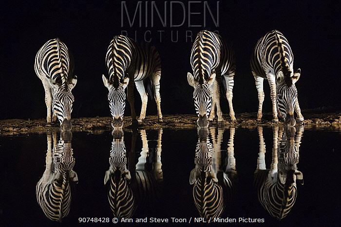 Plains zebra (Equus quagga) drinking at waterhole at night, Zimanga private game reserve, KwaZulu-Natal, South Africa, September