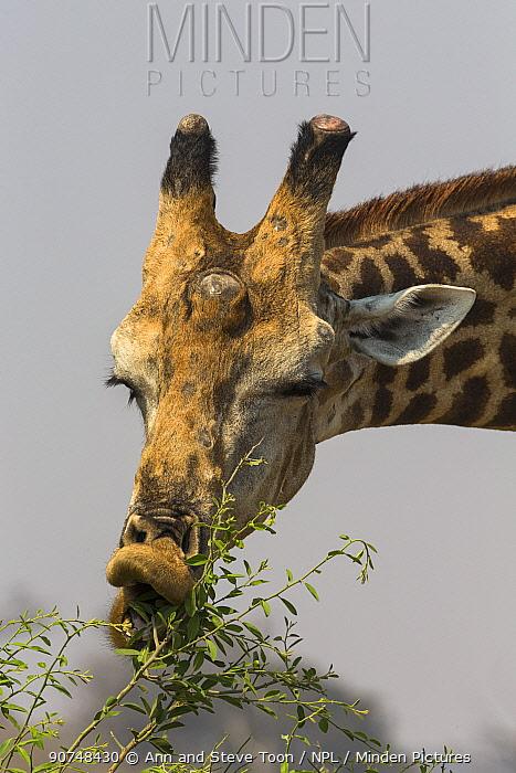 Giraffe (Giraffa camelopardalis) feeding, Kruger National Park, South Africa, September