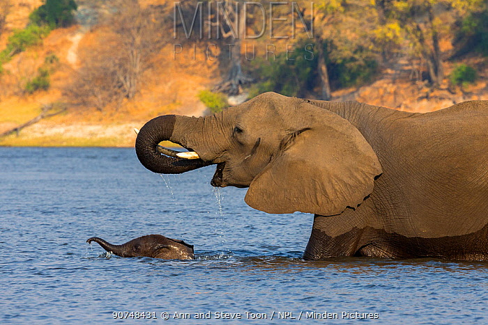 African elephant (Loxodonta Africana) mother with baby crossing river, Chobe river, Botswana, September
