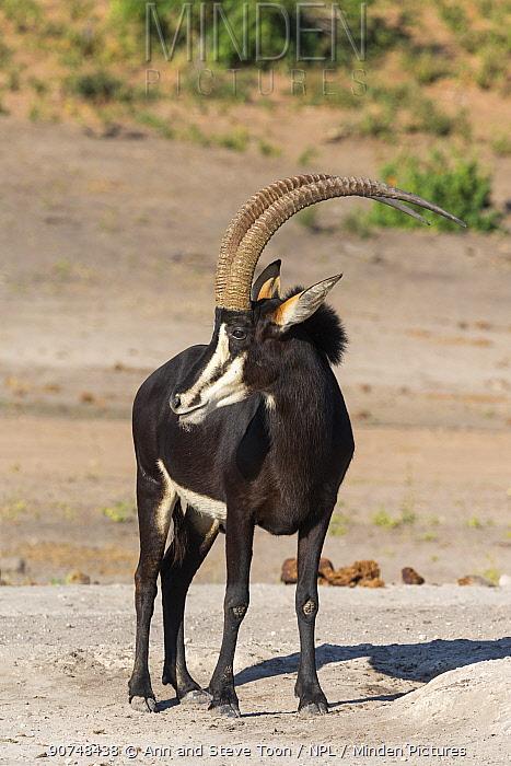 Sable (Hippotragus niger), Chobe National Park, Botswana, June