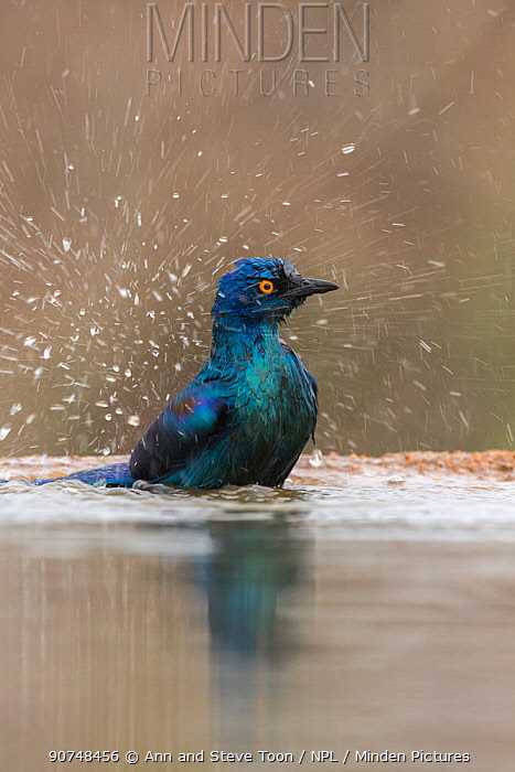 Cape glossy starling (Lamprotormis nitens) bathing, Zimanga private game reserve, KawZulu-Natal) South Africa, September