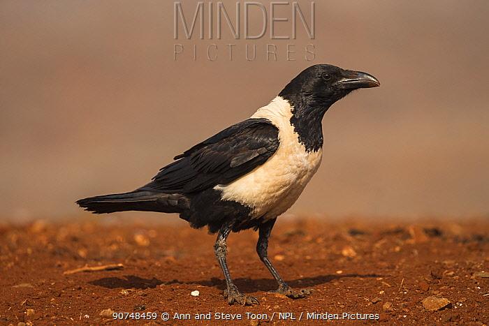 Pied crow (Corvus albus). Zimanga private game reserve, KwaZulu-Natal, South Africa. September.