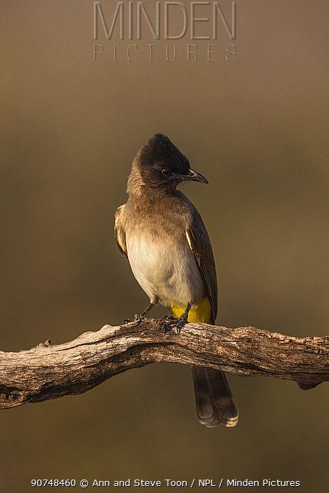 Dark-capped bulbul (Pycnonotus tricolor). Zimanga private game reserve, KwaZulu-Natal, South Africa. June.