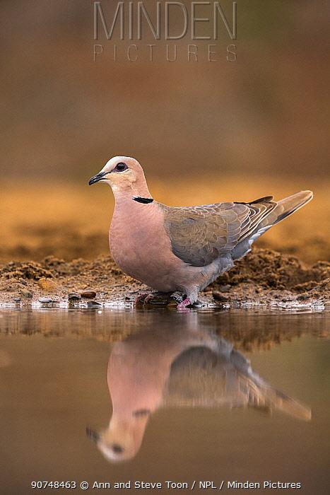 Cape turtle dove (Streptopelia capicola) at water. Zimanga private game reserve, KwaZulu-Natal, South Africa. September.