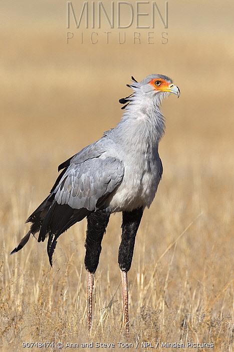 Secretarybird (Sagittarius serpentarius). Kgalagadi Transfrontier Park, South Africa. June.