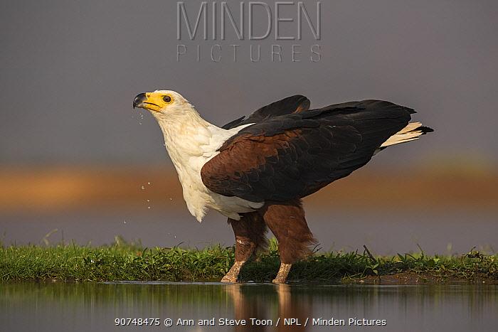 African fish eagle (Haliaeetus vocifer) drinking. Zimanga private game reserve, KwaZulu-Natal, South Africa. September.