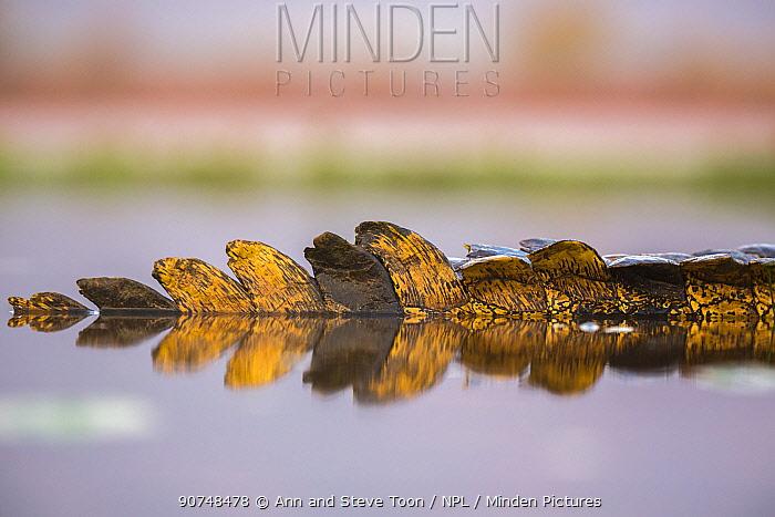 Nile crocodile (Crocodylus niloticus) tail in water Zimanga private game reserve, KwaZulu-Natal, South Africa. September.