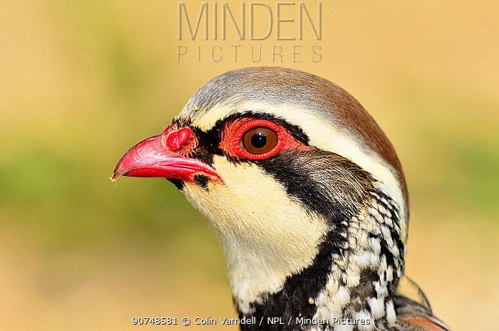 Red-legged partridge (Alectoris rufa), Dorset, UK, May