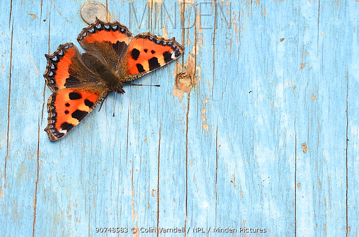 Small tortoiseshell butterfly (Aglais urticae) resting on old painted door. Dorset, UK, August