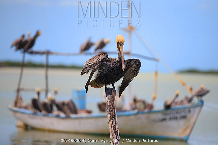 Adult Brown pelicans (Pelecanus occidentalis) perched on boat, waiting for fisherman to return with their catch in a small harbor. Yucatan, Mexico. February.
