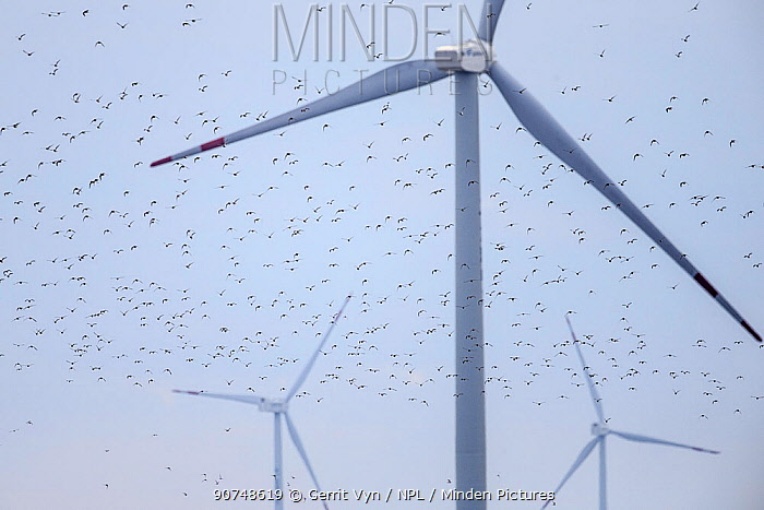 Kentish plover (Charadrius alexandrinus) flying around wind turbines. These wind turbines pose another obstacle to migratory shorebirds in the Yellow Sea. Rudong, China. October.