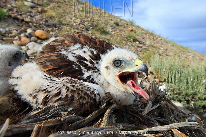 Ferruginous Hawk (Buteo regalis) nest with chicks. Sublette County, Wyoming, USA. June.