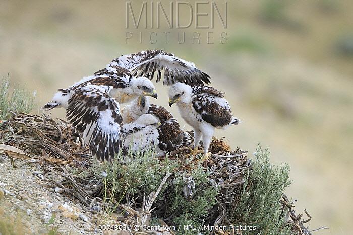 Ferruginous Hawk (Buteo regalis) nest with chicks. Sublette County, Wyoming. USA June.