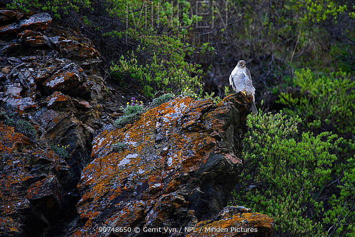 Gyrfalcon (Falco rusticolus) perched on rock, Seward Peninsula, Alaska. June.