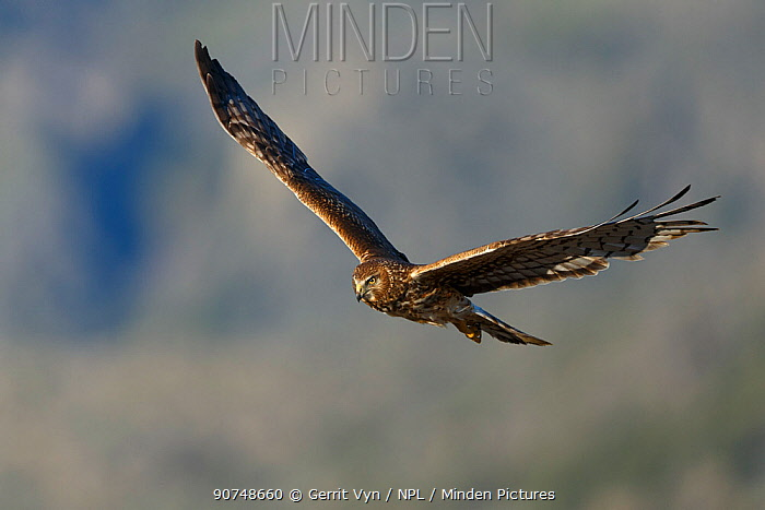 Female Northern Harrier (Circus cyaneus) in flight. Sublette County, Wyoming, USA. May.