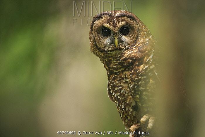 Spotted Owl (Strix occidentalis). Willamette National Forest, Oregon. June.