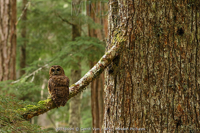Spotted Owl (Strix occidentalis) on tree branch, Willamette National Forest, Oregon. June.