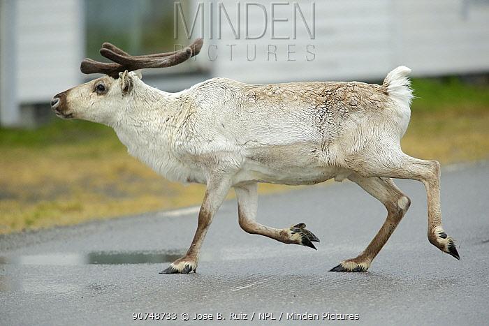 Reindeer (Rangifer tarandus) Sletness Reserve, Gamvik. Finnmark, Norway.