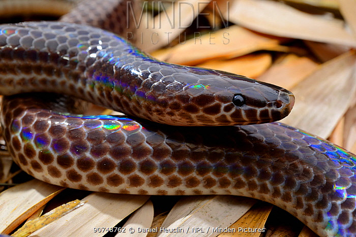 Sunbeam snake (Xenopeltis unicolor) captive, occurs in South East Asia.