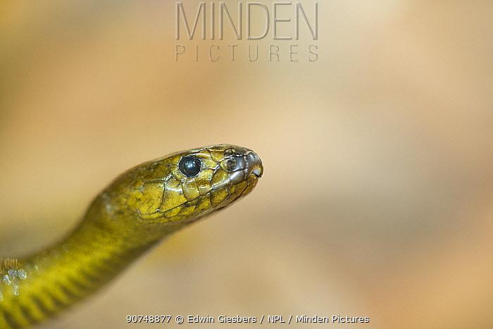 Inland taipan (Oxyuranus microlepidotus) portrait,  captive occurs in Australia. Extremely venomous.