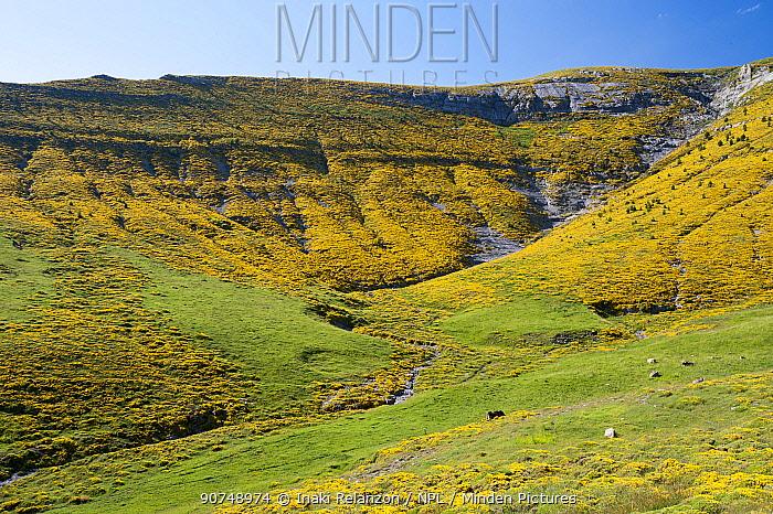 Hillsides covered in Horrible broom (Echinospartum horridum), Ordesa National Park, Spain. Pyrenees.