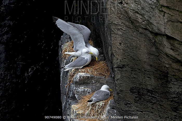 Kittiwake (Rissa tridactyla) pair interacting at nest site on cliff,  Iceland June