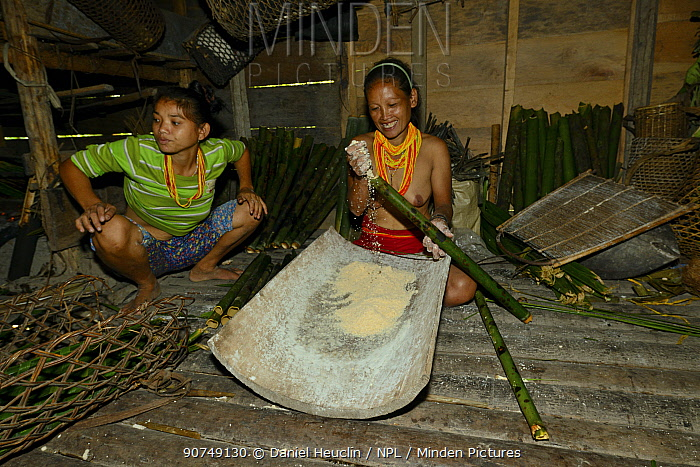 Mentawai women preparing semolina for cooking. Siberut Island, Sumatra. July 2016.