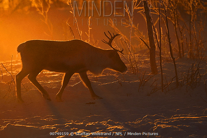 Reindeer (Rangifer tarandus) in atmospheric light, herding in the Saarivuoma Sami community, at Jarama, Ovre Soppero, Lapland, Laponia, Norrbotten county, Sweden January