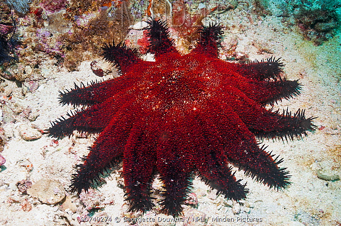 Crown of thorns starfish (Acanthaster planci)  Malapascua Island, Philippines, September