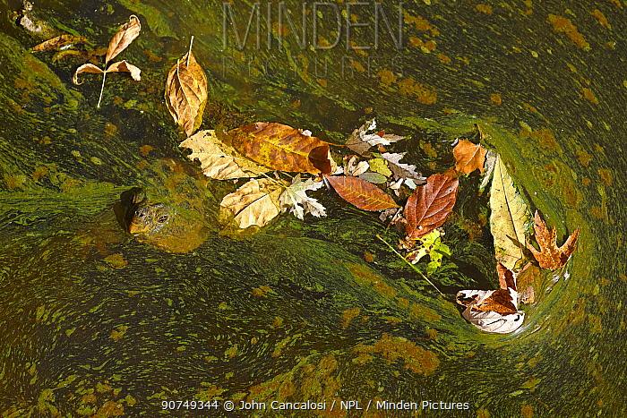 Snapping turtle (Chelydra serpentina) among algae. Maryland, USA, August.