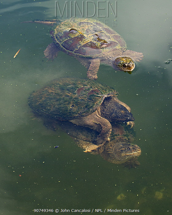 Snapping turtle (Chelydra serpentina) pair mating, Maryland, USA, August.